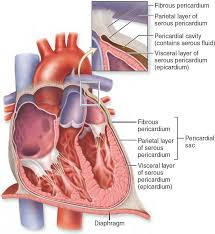 pericardial sac 19 6 pericardium the protective layers of the heart include the