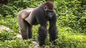 Bildergebnis für gorillas