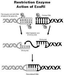 Restriction Enzyme Restriction Enzymes Chemistry Learning