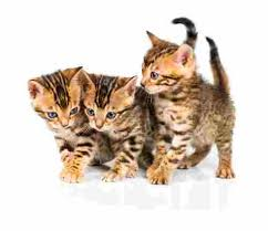 Bengal Cat Breed Size Appearance Personality
