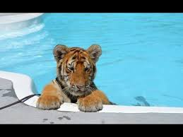 cute baby tiger. Plain Baby CUTEST Baby Tiger Videos That You Have To See  Cute Animals And YouTube