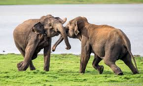 Image result for when two elephants fight images