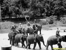 photo essay an elephant camp in black and white elephants ing at an elephant camp near chiang mai thailand