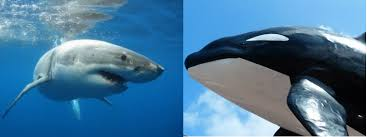 Orcas Versus Great White Sharks A Perennial Battle Of
