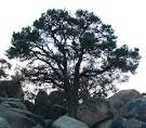 california single-leaf pinyon