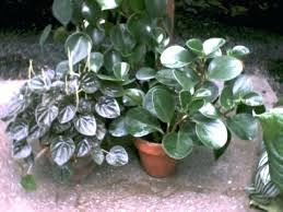 houseplants identify identify house plants by leaf round leaf house plants designs identify house plants by leaf identify house plants home interior ideas