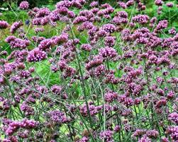 Image result for verbena bonariensis