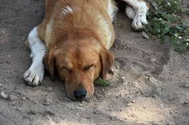 Liver Shunts in Dogs - Symptoms, Causes, Diagnosis, Treatment ...