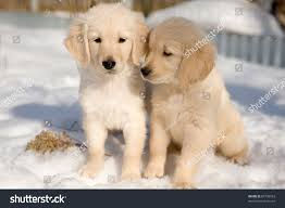 golden retriever puppies playing in snow. Modren Snow Two Golden Retriever Puppies In Snow In Golden Retriever Puppies Playing Snow E