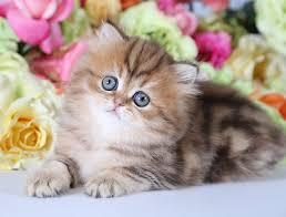 teacup persian cat. Brilliant Persian A True Teacup Persian Kitten Throughout Cat U