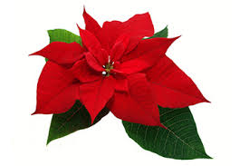 Quality Poinsettia | Poinsettias For Sale | Poinsettia Plant | Henry F. Michell Company