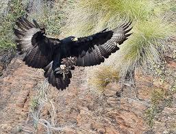 Roodekrans male black eagle still missing, mother feeding chick ...