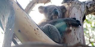 Картинки по запросу калининградский зоопарк коала