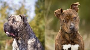 Presa Canario Weight Chart Presa Canario Vs American Pit Bull Terrier Differences
