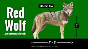 red wolf average size and weight diagram