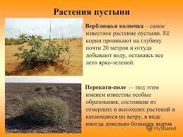 Реферат на тему растения полупустынь и пустынь Интересное в мире  реферат на тему растения полупустынь и пустынь многие компании производители
