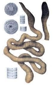 Giant Gippsland earthworm - Wikipedia