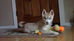 husky pup