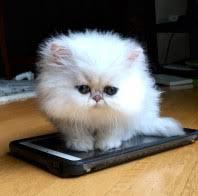 teacup persian cat. Contemporary Persian Teacup Persian Kitten  Cat Not To Teacup Persian Cat T