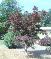 maple ridge nursery
