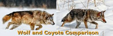 Resultado de imagen de cross between coyote and wolf