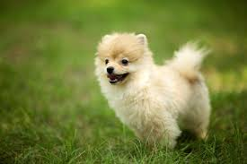 most beautiful dogs wallpapers. Interesting Wallpapers XW61 Pomeranian Dog Images  WallpapersWebcom  Inside Most Beautiful Dogs Wallpapers
