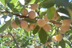 Mirabelle Plum France 1790  2995  Trees Of Antiquity Heirloom Dwarf Fruit Trees Virginia