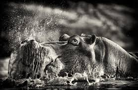 the list of world class black and white wildlife photographers is a short one but even if it were pages long south african photographer heinrich van den