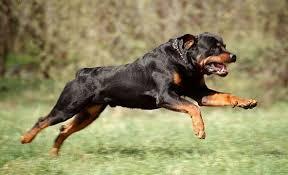 Картинки по запросу фото бойцовых пород собак