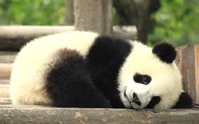 colors images cute black and white panda hd wallpaper and background photos