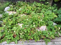my litte wild strawberry patch