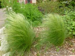 Tall Decorative Grass Pruning Ornamental Grasses My Gardener Says