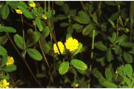 Plants Profile for Medicago lupulina (black medick)