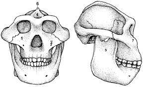 The Robust Australopithecine Face: A Morphogenetic Perspective | Science