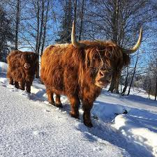 Pin by Dolores Ratliff on Highlanders | Highland cattle, Highland ...