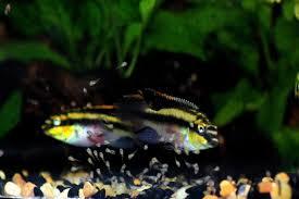 Growth And Development Of Pelvicachromis Pulcher Kribensis