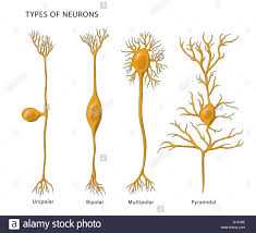 Illustration Showing The 4 Types Of Neurons From Left To Right