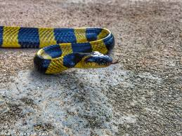 There are more than 3,000 species of snakes in the world and there is at least one type of snake on every continent except antarctica. Banded Krait Wikipedia