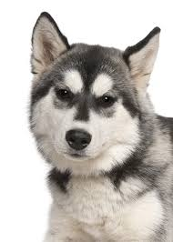 you ll find the siberian husky to be a happy dog that will bee easily