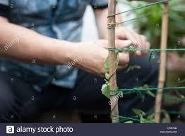 Mann Ein Bambus Stock Struktur Binden Thunbergia Pflanzen