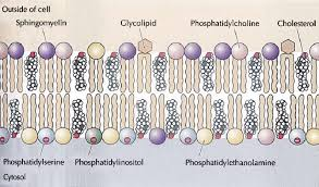 cell membrane from cooper hausman
