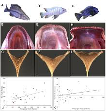 Oral And Pharyngeal Tooth Number Is Correlated In Malawi