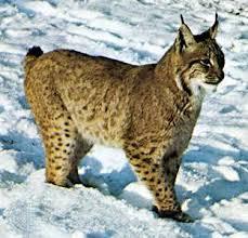 Lynx Description Size Habitat Facts Britannica