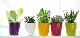 large indoor cactus plants uk exotic angel