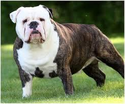 australian bulldog australian bulldog australian bulldog