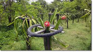 Exotic Fruit Trees San Diego Guide BEST Trees To Grow  INSTALL Dragon Fruit On Tree