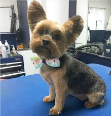 here are a few more pictures of relevant yorkie haircuts make sure to get the best one for your little pet