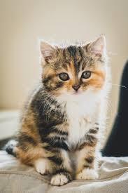 Free Kittens Tabby  seattle 2021