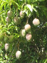 Breadfruit Trees Are U0027Trees That Feedu0027 And Create Jobs In Jamaica Jamaican Fruit Trees