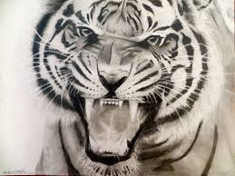 tiger roar tattoo. Simple Tattoo 9x12 Tiger Roar Drawing In Pencil More Tattoo Ideas  With Tiger Roar Tattoo